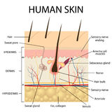 Illustration of human skin anatomy. Stock Photos