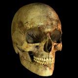 Illustration of human skull Stock Images