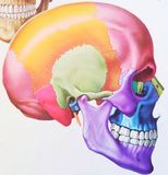 The human skull. Illustration of a Human Skull stock images