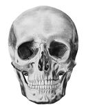 An illustration of human skull isolated royalty free stock image
