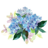 Illustration of Hydrangea flowers Royalty Free Stock Image
