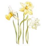 Illustration im Aquarell einer Narzisse blühen Blüte Blumenkarte mit Blumen Botanische Illustration lizenzfreie abbildung