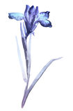 Illustration of iris. Sumi-e style, colored with blue colors. Ink illustration of flower iris. Sumi-e, u-sin, gohua painting style, colored with blue and violet Stock Photos