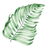 An illustration with an isolated branch of the leaves of a palm painted in watercolor on a white background Stock Photography