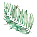 An illustration with an isolated branch of the leaves of a palm painted in watercolor on a white background Royalty Free Stock Images