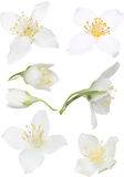 Illustration with isolated white jasmin blooms collection Stock Photography