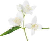 Illustration with isolated white jasmin blossoming branch Stock Photos