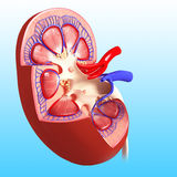 Illustration of kidney cross section. 3d art illustration of kidney cross section Stock Photography
