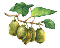 Illustration of kiwi plant Actinidia chinensis a branch with leaves and fruits. Hand drawn watercolor painting on white background Vector Illustration