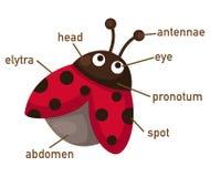 Illustration of ladybug vocabulary part of body Stock Image