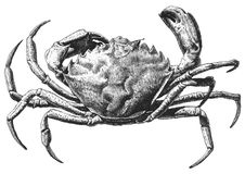 Illustration with a large crab Stock Image
