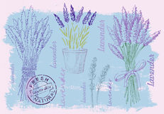 Illustration of lavender. Vector hand drawn illustration of lavender on pait background Royalty Free Stock Photography