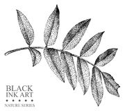 Illustration with leaf of Rowan drawn by hand with black ink
