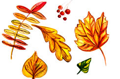 Illustration of leaves of mountain ash, maple, oak Royalty Free Stock Photo