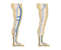 Illustration leg veins Royalty Free Stock Image