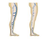 Illustration leg veins. On a white background Royalty Free Stock Image