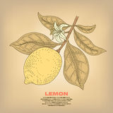 Illustration of lemon plants. Lemon. Illustration branch plant with fruits and flowers.  image on white background. Vector. Vintage Stock Image