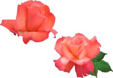 Two light red roses blooms isolated on white. Illustration with light red roses blooms isolated on white background Stock Photos