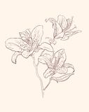 Illustration lily Royalty Free Stock Photography