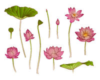 Illustration of lotus flower Royalty Free Stock Photography