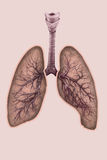 Illustration of lungs with trachea and bronchi Stock Photos