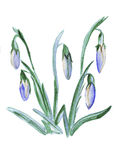 Illustration of a lush flower lily of the valley Royalty Free Stock Photo