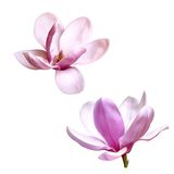 Illustration of a magnolia flower isolated on Stock Images