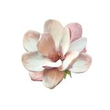 Illustration of a magnolia flower Stock Photos