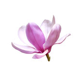 Illustration of a magnolia flower Royalty Free Stock Image