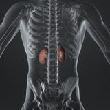 Adrenal Glands. An Illustration of a man's anotomy the adreanal glands showing in an xray style Royalty Free Stock Photography