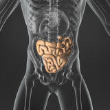Small Intestine Stock Images