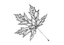 Illustration of maple leaf Royalty Free Stock Image