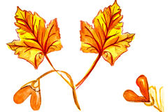 Illustration of maple leaves with seeds Royalty Free Stock Photography