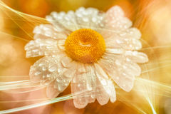 Illustration - Marguerite - water drops - bokeh - light rays - orange Royalty Free Stock Photography
