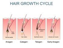Illustration marquée de cycle de croissance de cheveux illustration stock