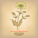 Illustration of medical herbs Arnica Montana. Royalty Free Stock Photo