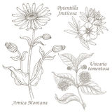 Illustration of medical herbs arnica, potentilla, uncaria. Arnica Montana, potentilla fruticosa, uncaria tomentosa. Set of illustration of medical herbs Royalty Free Stock Photography