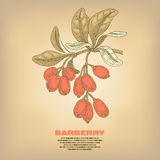 Illustration of medical herbs barberry. Barberry. Illustration of medical herbs.  image on white background. Vector Stock Images