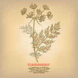Illustration of medical herbs Caraway. Caraway. Illustration of medical herbs. Isolated image on white background. Vector Stock Image