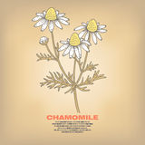 Illustration of medical herbs chamomile. Chamomile. Illustration of medical herbs. Isolated image on white background. Vector Stock Image