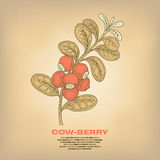 Illustration of medical herbs Cow-berry. Stock Photography