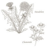 Illustration of medical herbs dandelion, chamomile. Stock Photography