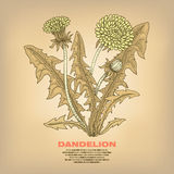 Illustration of medical herbs dandelion. Royalty Free Stock Photo