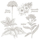 Illustration of medical herbs ginseng, potentilla, milfoil. Royalty Free Stock Images