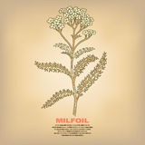 Illustration of medical herbs Milfoil. Royalty Free Stock Photos