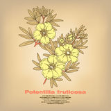 Illustration of medical herbs Potentilla fruticosa. Potentilla fruticosa. Illustration of medical herbs.  image on white background. Vector Royalty Free Stock Photo