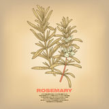 Illustration of medical herbs Rosemary. Royalty Free Stock Photo