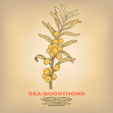 Illustration of medical herbs Sea-buckthorn. Sea-buckthorn. Illustration of medical herbs.  image on white background. Vector Royalty Free Stock Photos
