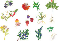 Illustration with medicinal plants collection Royalty Free Stock Image