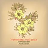 Illustration medizinischen Kräuter Potentilla fruticosa Lizenzfreies Stockfoto